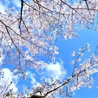 桜と梅の花をまとめました。