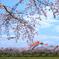 鯉のぼりと桜①