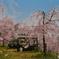 逆光の桜吹雪