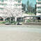 コロナ禍の下、桜咲く