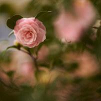 今日は雨で花が散ります。