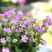 シレネという花