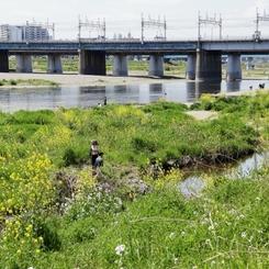 河原は菜の花盛り -1