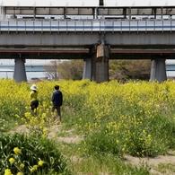 河原は菜の花盛り -4