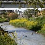 河原は菜の花盛り -5