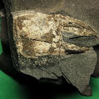 第三紀中新世のハサミ (バルタン星人の化石 2)