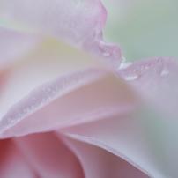 2020 春の薔薇