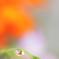 雨滴のマリーゴールド