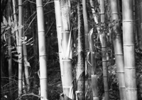 young bamboo