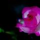 カーマイン色の薔薇
