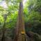 大阪一背の高い杉だそうです