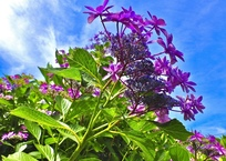空に向かって咲く紫陽花