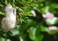 モリアオガエルの卵塊と睡蓮
