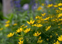 梅雨のやみ間の黄色い花‥