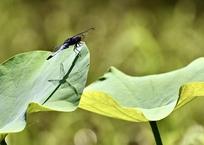 蓮の葉に休むシオカラトンボ