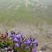 崖に咲く桔梗