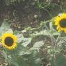 ソレイユの丘のヒマワリ