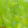 ホソミイトトンボ夏型♀