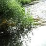 川辺の笹 在りし日は濁流なりしが・・・