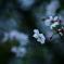 悲しき色の桜花
