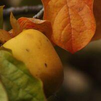 白露 山柿(盆栽)