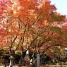 盛りの紅葉