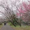 佐倉城址公園のカンザクラ