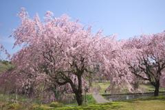 川村記念美術館の枝垂れ桜