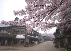 商家の街並みの桜