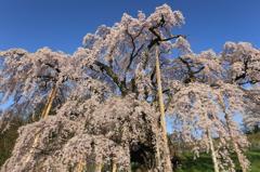 三春滝桜4