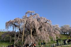 三春滝桜7