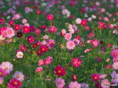 秋桜_01