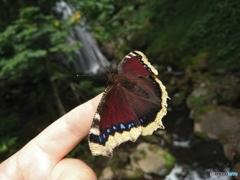 キベリタテハ(表翅)