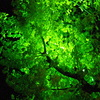 緑のイチョウ