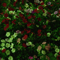 夜の歩道の花