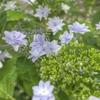マンションの紫陽花