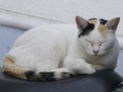 徳島・あわの抄の猫