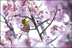メジロと緋寒桜 IMG_1772m