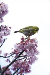メジロと緋寒桜 IMG_1771m