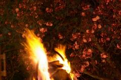 夜桜と篝火