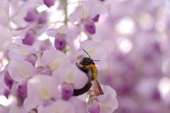 藤にはいつもハチ