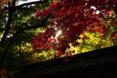 紅葉に射す光