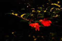 山茶花はひっそりと咲く