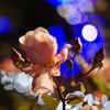 Rose Ilumination