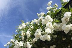 万博記念公園 バラ
