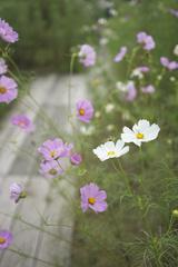 長居植物園 秋桜