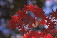 箕面 紅葉