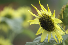 京都府立植物園 向日葵