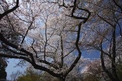 奈良 桜 2011