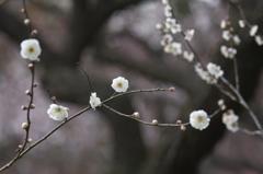 京都府立植物園 梅